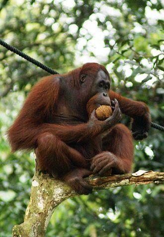 orangutan-sa-bornea