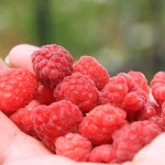 Fresh-Raspberry-Close-Up-in-Hand__54295-150x150 maline free