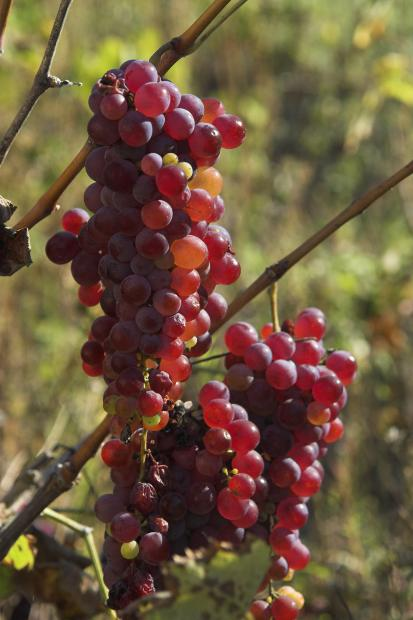 grožđe free