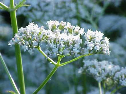 Valeriana_officinalis1 wikipedia 640x480