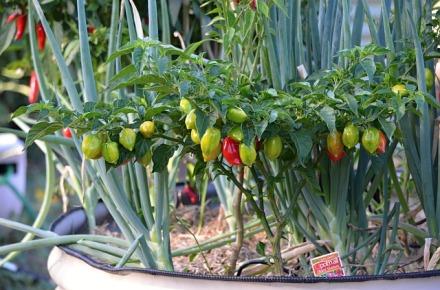 paprika u bašti free