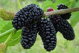 dudinje crne