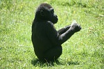 gorila bejbi free